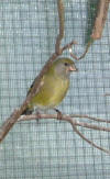 photo of hooded yellow siskin