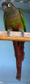 green cheeked conure photo