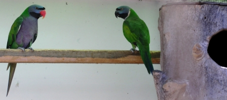 Moustached Parrot or Psittacula alexandri fasciata