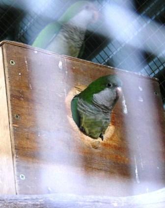 Quaker Parrot or Myiopsitta monachus