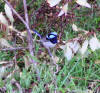 splendid fairy wren photo