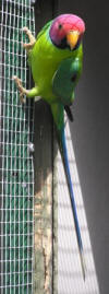 photo of plum headed parrot